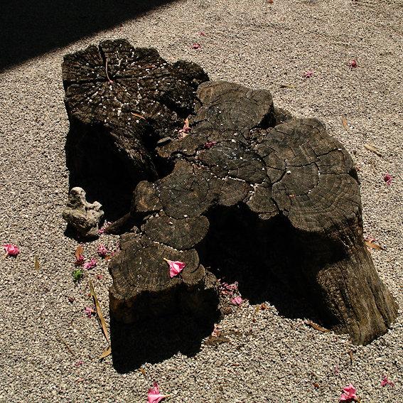Rose / souche en fleurs à l 'ENPS / Arles 008
